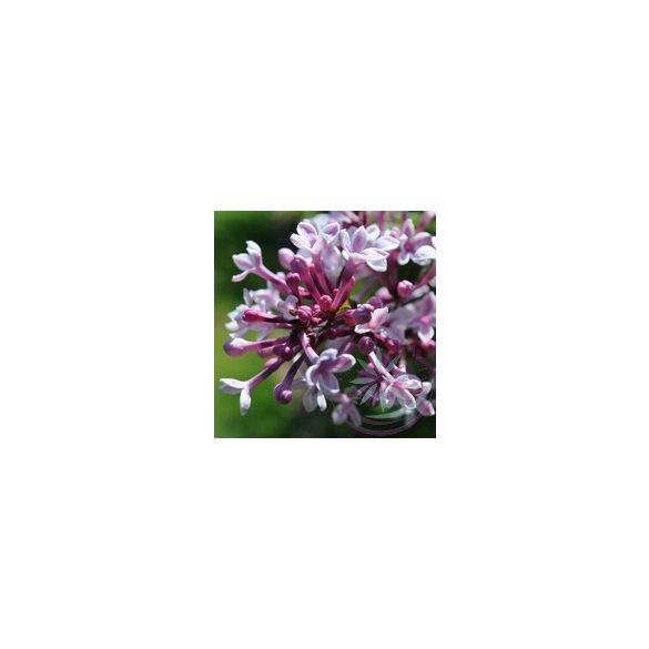 Orgona ( Lilac ) Éden virágesszencia