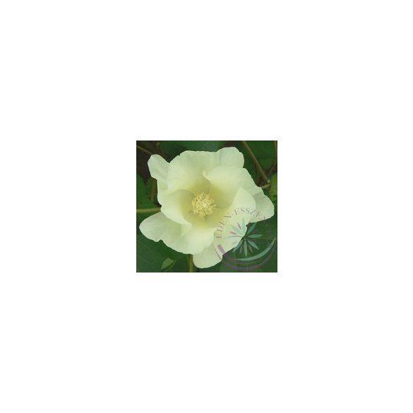 Gyapot ( Cotton ) Éden virágesszencia