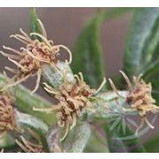Fekete üröm ( Mugwort ) Éden virágesszencia