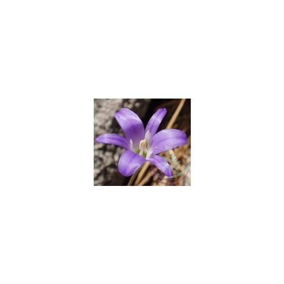 Csillaghagyma ( Harvest brodiaea) Éden virágesszencia