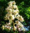 Fehér vadgesztenye 35. White Chestnut Bach virágesszencia