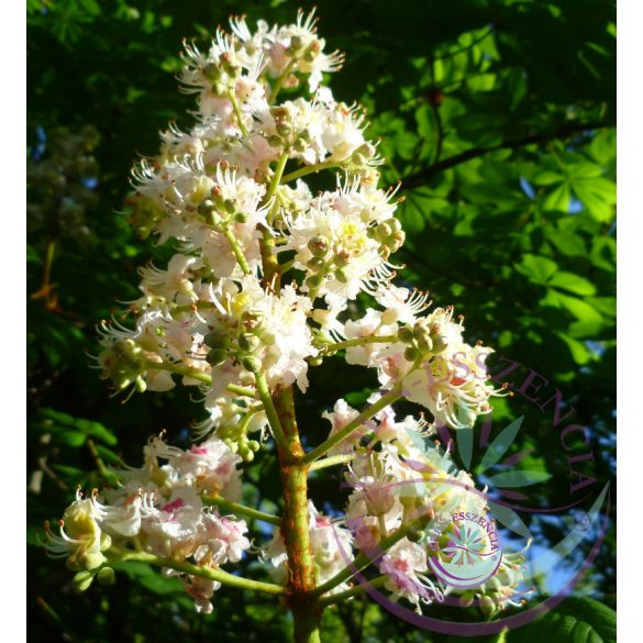 Bach virágterápia-Fehér vadgesztenye 35. White Chestnut Bach virágesszencia