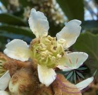 Japán naspolya ( Loquat ) Éden virágesszencia