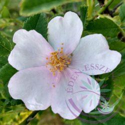 Bach virágterápia-Vadrózsa (37.Wild rose) Bach virágesszencia