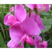 Nagyvirágú lednek ( Sweet pea) Éden virágesszencia