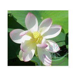 Indiai Lótusz (Lotus ) Éden virágesszencia