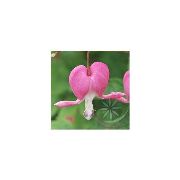 Szívvirág ( Bleeding heart ) Éden virágesszencia