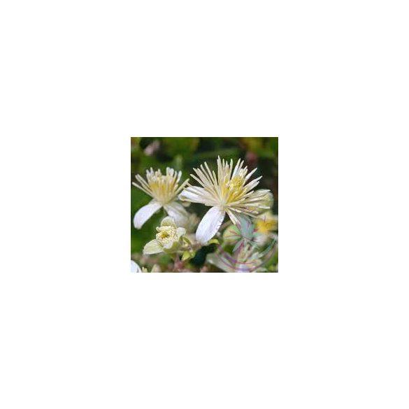 Bach virágterápia -Iszalag(9. clematis ) Bach virágeszencia