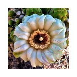 Óriás kaktusz (Saguaro ) Éden virágesszencia
