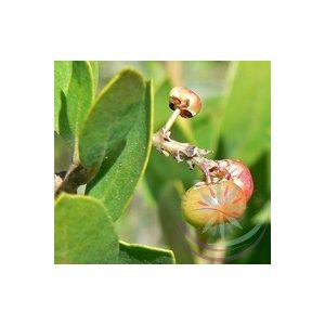 Manzanita Éden virágesszencia