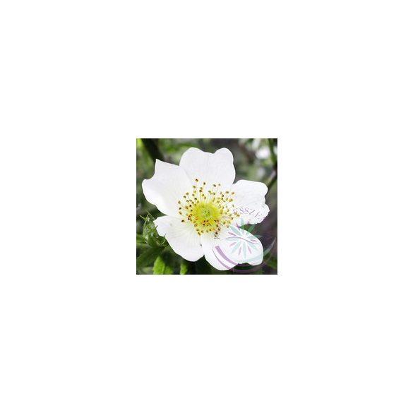Cseregalagonya ( Hawthorne ) Éden virágesszencia