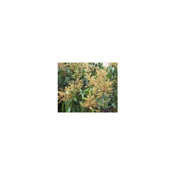 Mangó Éden virágesszencia