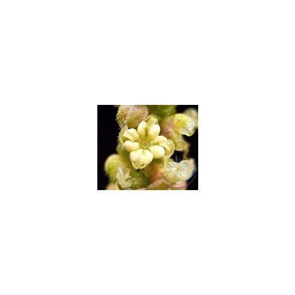 Nagy csalán ( Stinging nettle ) Éden virágesszencia