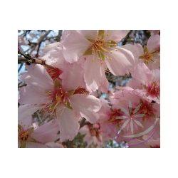 Mandulafa ( Almond) Éden virágesszencia