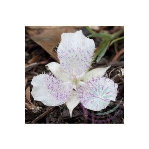 Star tulip Éden virágesszencia