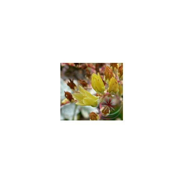 Amerikai kövirózsa ( Live forever ) Éden virágesszencia