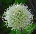 Vöröshagyma ( Onion ) Éden virágesszencia
