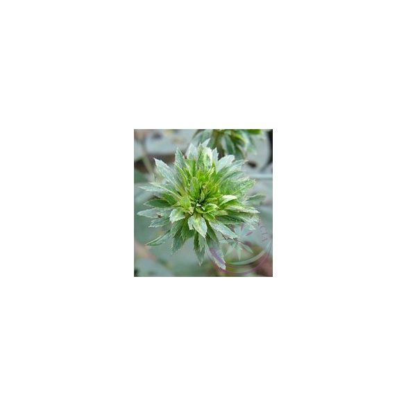 Zöld rózsa ( green rose) Éden virágesszencia