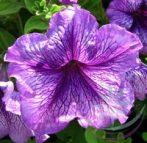 Petúnia (Petunia ) Éden virágesszencia