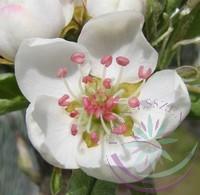 Körte (Pear) Éden virágeszencia