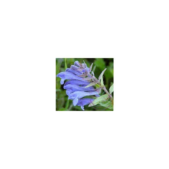 Csukóka ( Skullcap ) Éden virágesszencia