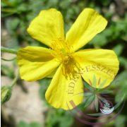 Bach virágterápia - Napvirág 26. Rock Rose Bach virágesszencia