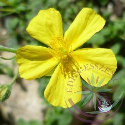 Bach virágterápia-Napvirág 26. Rock Rose Bach virágesszencia