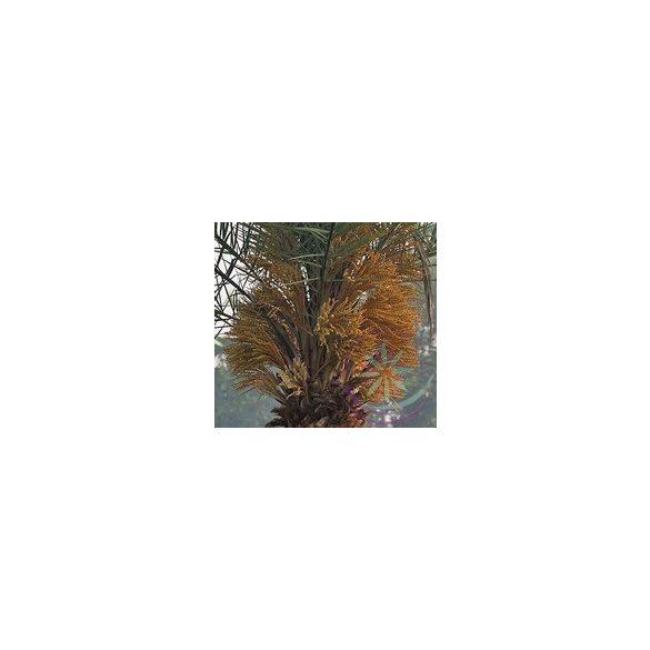 Datolyapálma ( Date palm ) Éden virágesszencia