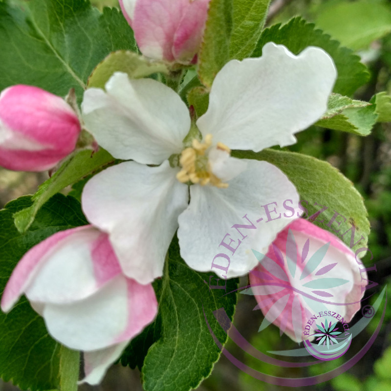 Vadalma ( 10. Crab Apple) Bach virágesszencia