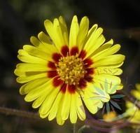 Madia -Éden virágesszencia