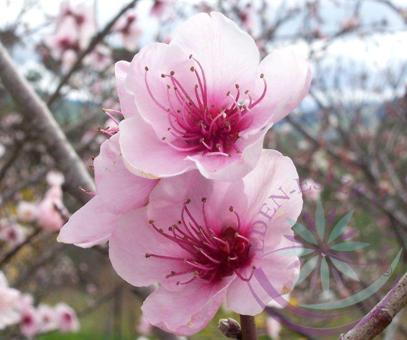 Őszibarack ( Peach ) Éden virágesszencia