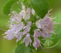 Csombormenta ( Pennyroyal ) Éden virágesszencia