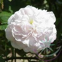 Fehér rózsa ( Koening van daenmark ) Éden virágesszencia