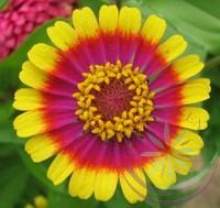 Rézvirág ( Zinnia) Éden virágesszencia