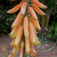 Aloe vera -Éden virágesszencia