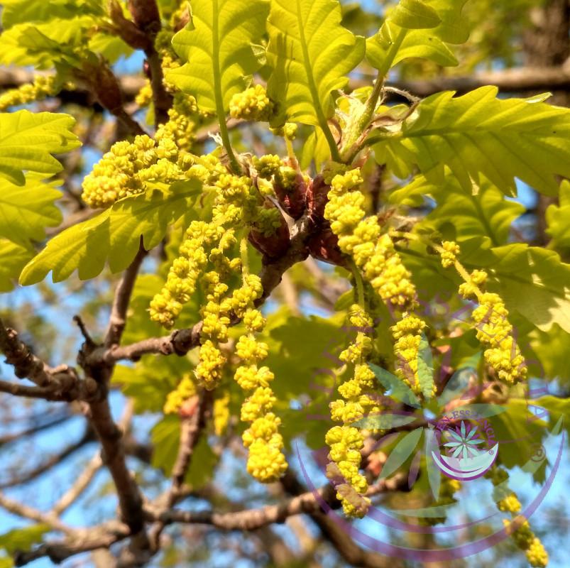 Tölgy 22. Oak Bach virágesszencia