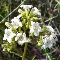 Hegyi balzsam ( Yerba santa ) Éden virágesszencia