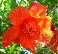 Gránátalam ( Pomegranate ) Éden virágesszencia