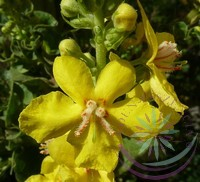 Molyhos ökörfarkkóró ( Mullein ) Éden virágesszencia