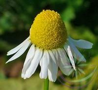 Kamilla ( Chamomille German ) Éden virágesszencia